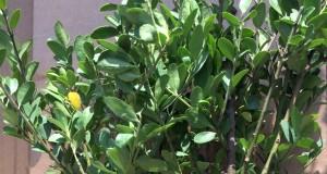 Hervorragende Buchsbaum Alternativen: Rein äußerlich ist Ilex Crenata nicht von Buchsbaum zu unterscheiden.