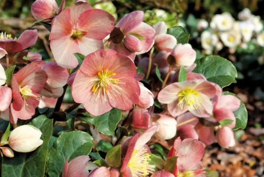 Winterharte Balkonpflanzen wie die Christrose sorgen für Farbtupfer in der kalten Jahreszeit (Foto: Dehner)
