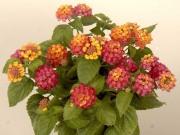 Das Wandelröschen und andere kälteempfindliche Kübelpflanzen transportieren Sie vor den ersten Nachtfrösten in Keller oder Flur (Foto: Dehner)