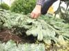 Rosen überwintern am besten unter einer Reisigschicht. Tannenreisig gibt es zum Beispiel in den Dehner Gartenmärkten ( Foto: Dehner)