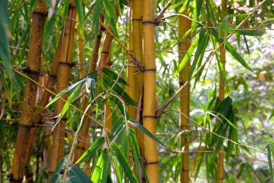 Bambus der Sorte Phyllostachys lässt sich nur mit einer Bambus Rhizomsperre in Schach halten.