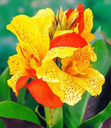 Mit gelb-orange gesprenkelten Blüten gehört Canna Cleopatra zu den schönsten Canna-Sorten (Foto: Baldur Garten)