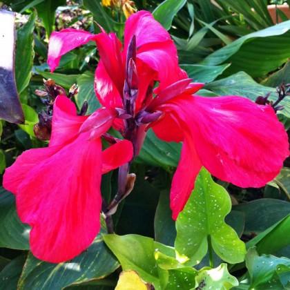Bei Versendern finden Sie eine riesige Auswahl an Canna-Sorten- hier eine pink-rote Sorte.