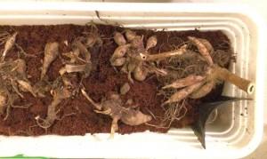 Die Dahlienknollen lassen sich in Töpfen und Kästen vortreiben - gewöhnliche Pflanzerde genügt.
