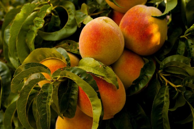 Durch richtige Standort- und Sortenwahl lässt sich die Kräuselkrankheit am Pfirsichbaum verhindern.