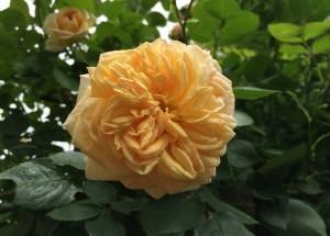 Die Ramblerrose Alchymist zeigt außergewöhnliche, gefüllte Blüten in Apricot, Orange und Gelb.