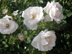 """Cremeweiße, an Wildrosen erinnernde Blüten sind das Merkmal der beliebten Ramblerrose """"Bobbie James""""."""