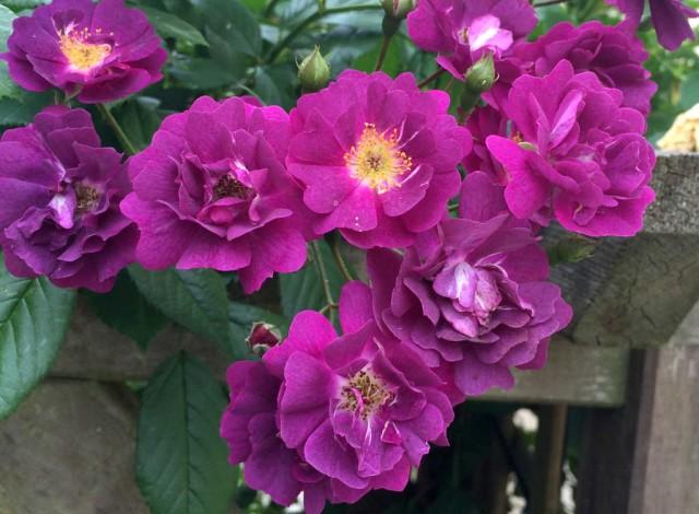 Wer Ramblerrosen bestellen möchte, entscheidet sich häufig für Klassiker wie Veilchenblau.