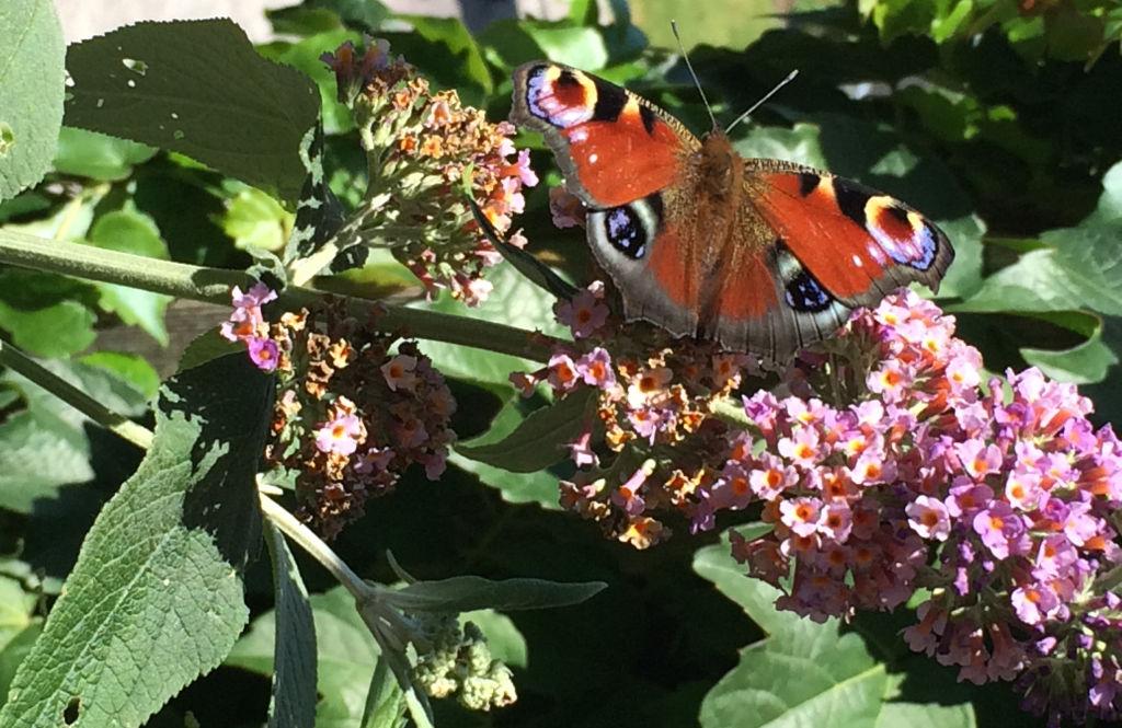 Wer ab Juli riesige Blütenrispen erleben möchte, sollte im Frühling den Sommerflieder schneiden.