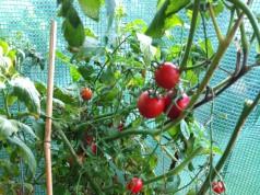 Tomatenhaus kaufen: Ein Tomatenhaus bietet den empfindlichen Tomaten Schutz vor Regen und Hagel.