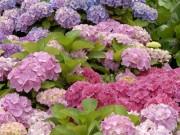 """Hortensien schneiden überflüssig: Bei Bauernhortensien der Sorte """"Forever & Ever"""" wird lediglich Verblühtes entfernt (Foto: Forever & Ever)"""