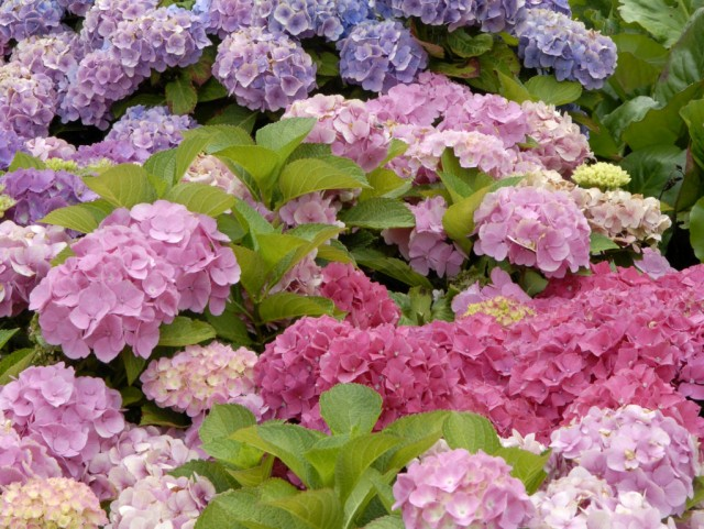 bauernhortensien schneiden hortensien richtig schneiden hortensientr ume image gallery. Black Bedroom Furniture Sets. Home Design Ideas