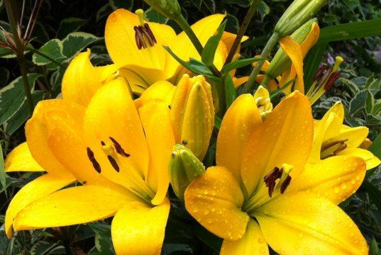 Absammeln oder Spritzmittel? Mit beiden Methoden lassen sich Lilienhähnchen bekämpfen.