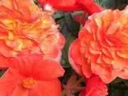 Begonien, Dahlien, Blumenrohr: Am QVC Gartentag 2018 bekommen Sie Knollen-Raritäten in Top-Qualität.